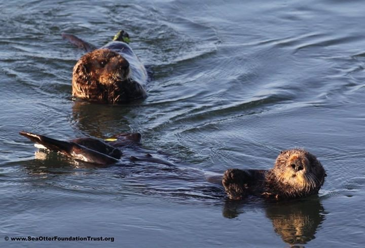 Sea Otter Foundation & Trust - SOFT cover