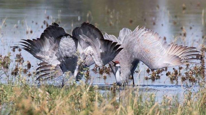 Yolo Audubon Society cover