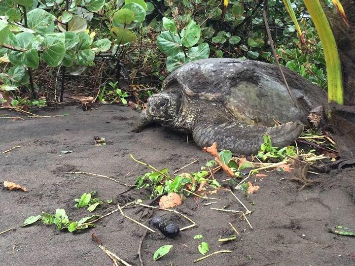 Sea Turtle Conservancy Tortuguero cover