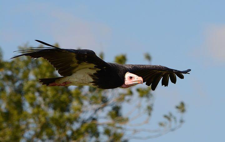 Hawk Conservancy Trust cover