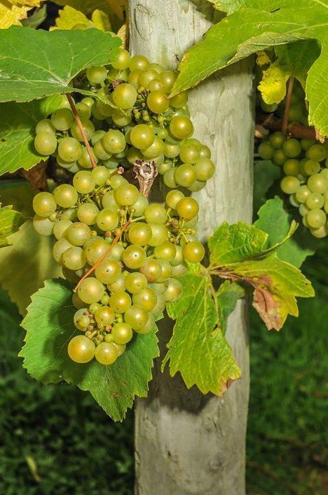Chafor Wine Estate - Buckinghamshire, England cover