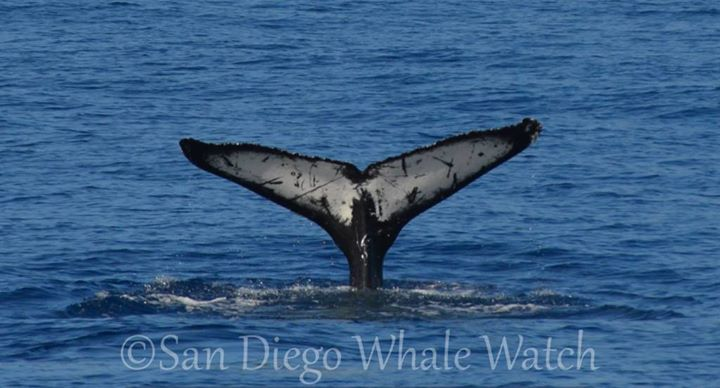 San Diego Whale Watch cover