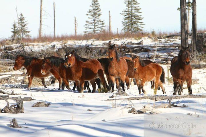 Wild Horses of Alberta Society cover