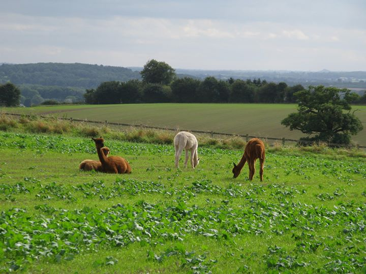Charnwood Forest Alpacas & Chilli Bean Kitchen cover