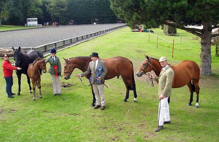 Avanti Amorous Archie Grade One Gold Merit Irish Draught Stallion cover
