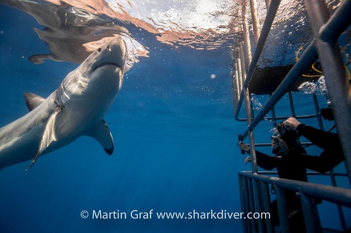 Great White Shark Diving cover