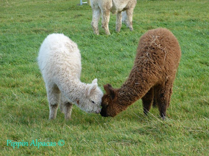 Pippin Alpacas,  Apple Tree Farm cover