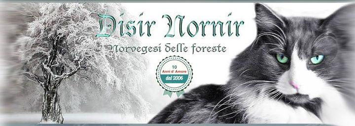Gatti Norvegesi Delle Foreste Allevamento Idisir Nornir Parma