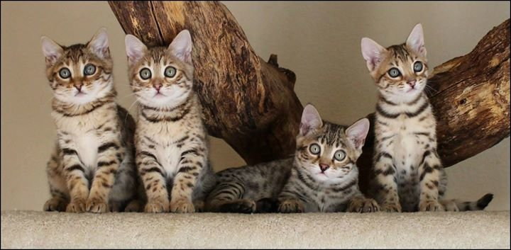 Quality Bengal Kittens cover