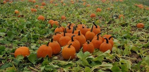 Long Island Pumpkin Farm cover