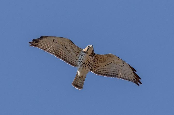 Jenner Headlands Hawk Migration Project cover