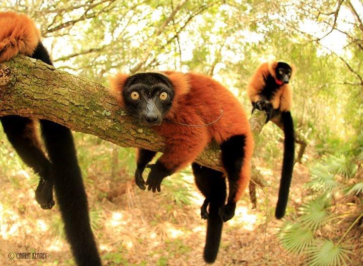 Lemur Conservation Foundation cover