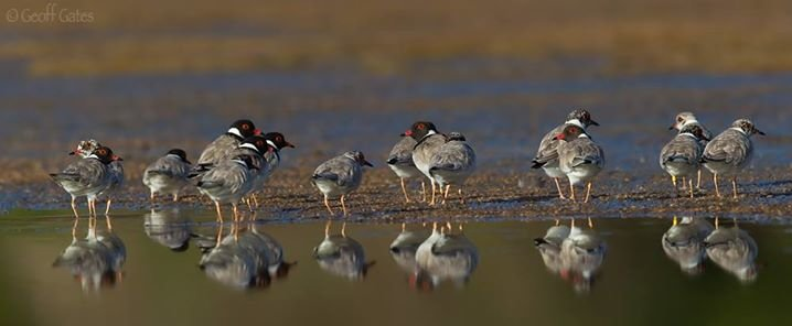 Hooded Plover cover
