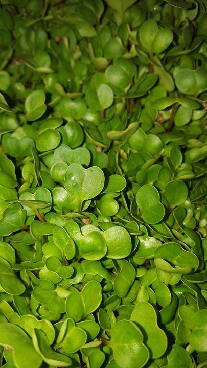 Homestead Microgreens cover