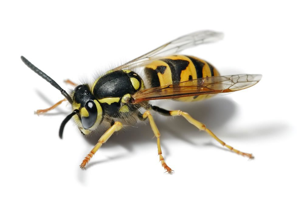 Wasp Nest Removal Wolverhampton cover