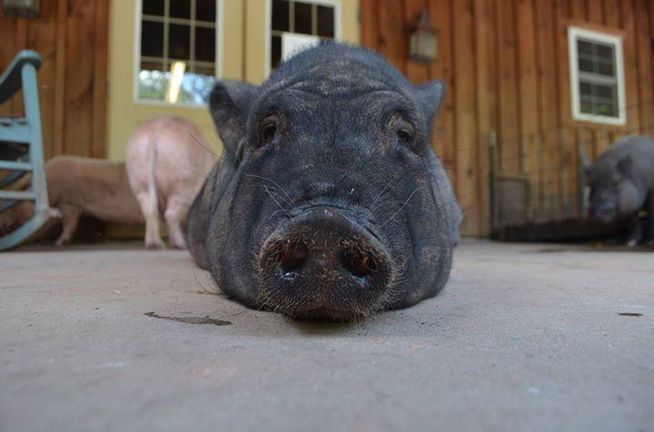 Ross Mill Farm & Piggy Camp cover