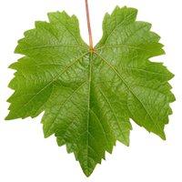 Seppa Vineyard