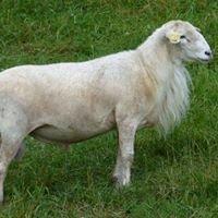 OW Katahdin Hair Sheep