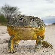 Namibia Frog Meat Supplies and Exports