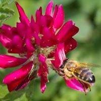 Kashmir Acacia honey