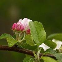 Gottenborg Apple Orchard