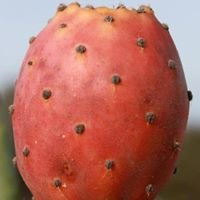 Lizio's Prickly Pear and Cherry Orchard's