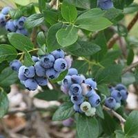 Chet's Blueberry Farm
