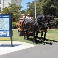 Draft Horse and Driving Club at UC Davis