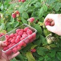 Conroy's Wicklow Raspberries