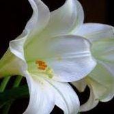 Lily's harmony,health and beauty
