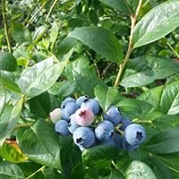 Sauvie Island Blueberry Farm