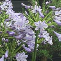 Agapanthe bloemen & wonen