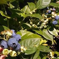 Cook's Blueberries