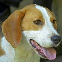 Adotta un Beagle Rescue Roma