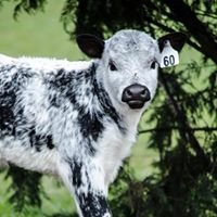 Speckleline Cattle