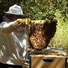 Organic Beekeeping 101 thumb