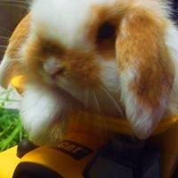 Conejos_minilop_venta