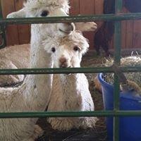 Red gate Alpaca Farm