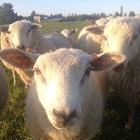 Heikkilän lammastila