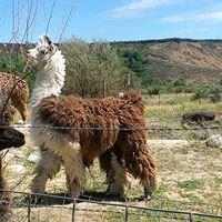 Rolling Rocks Llama & Alpaca Ranch