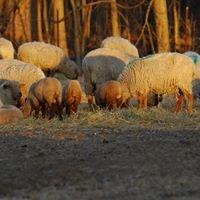 Raspberry Ridge Sheep Farm and the ATBA