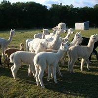 Alpaca and Llama - Lost City Insurance
