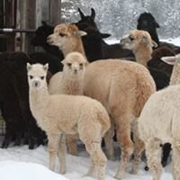 African Velvet Alpacas  - Avafarms
