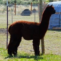 Spring Canyon Alpacas