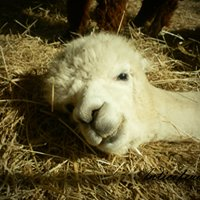 Anticofeudo  alpacas