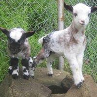 Kawinkidink Miniature Goat Stud