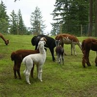 Alpacas at Morning Star Ranch