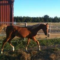 Sterling Creek Ranch fine Arabian Horses and Suri Alpacas
