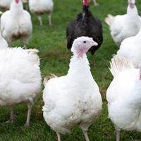 Silverwell Turkeys and Chickens