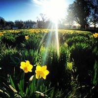 Taniwha Daffodils Central Hawkes Bay